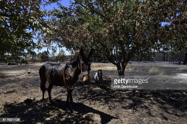 Horses stand tied to trees on a burnt area following a wildfire in Vila Cha near Alijo on July 18 2017 A month after the deadliest forest fire in...