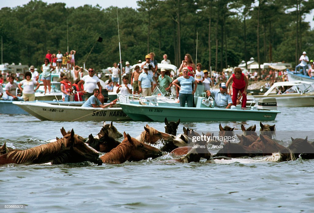 Horses Swimming in the Water