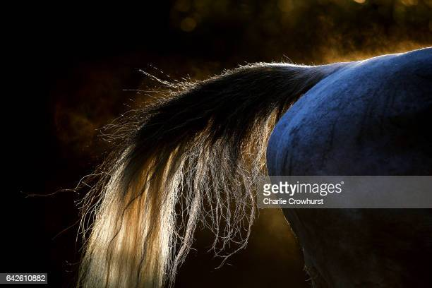 Horses' tail on show in the unsaddling area at Ascot Racecourse on February 18 2017 in Ascot England