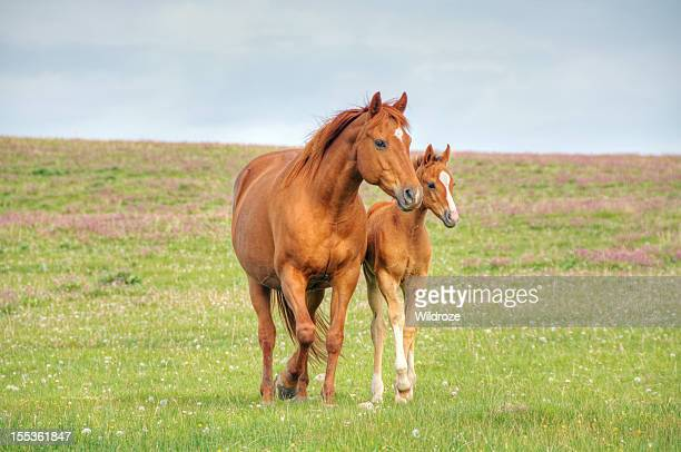 Horses walk across mountain meadow