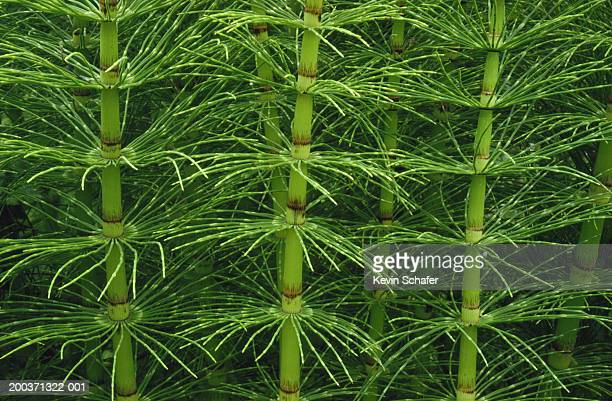 Horsetail (Equisetum sp.), full frame