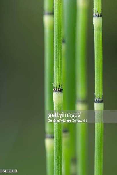 Horsetail rushes (equisetum hyemale), close-up