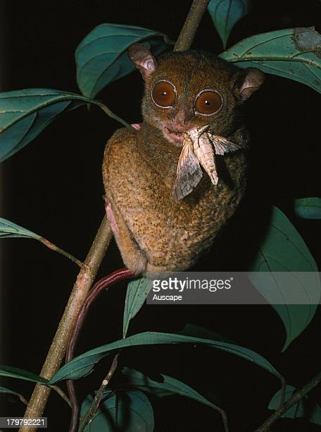 Horsfields tarsier Cephalopachus bancanus a tiny primate with moth