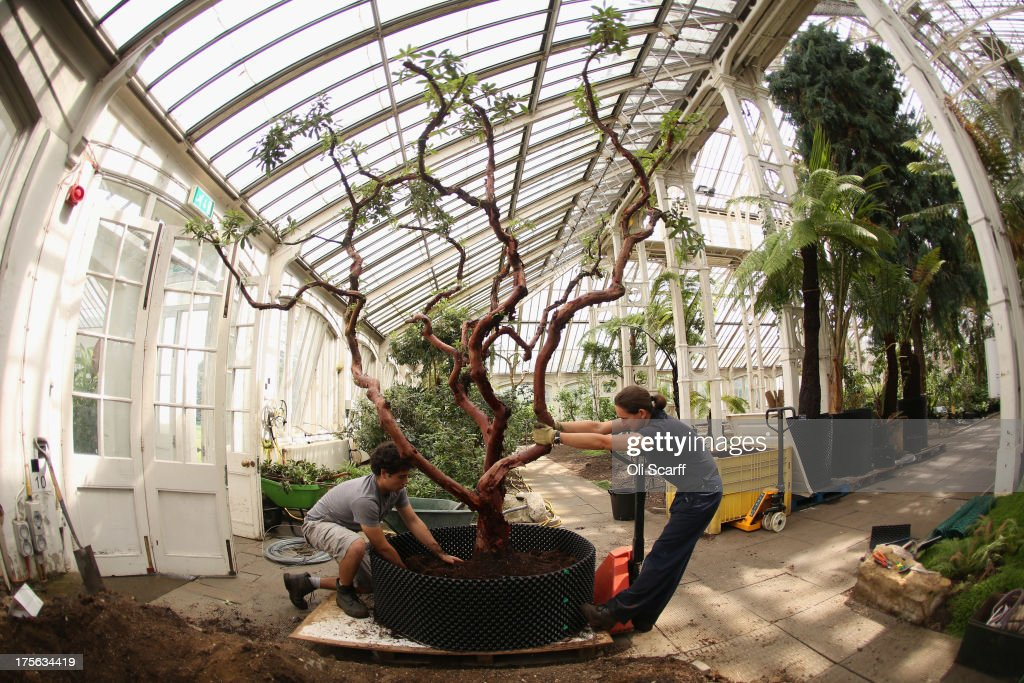 Horticulturalists At The Royal Botanic Gardens Kew Remove A Rhododendron Dendricola Tree From