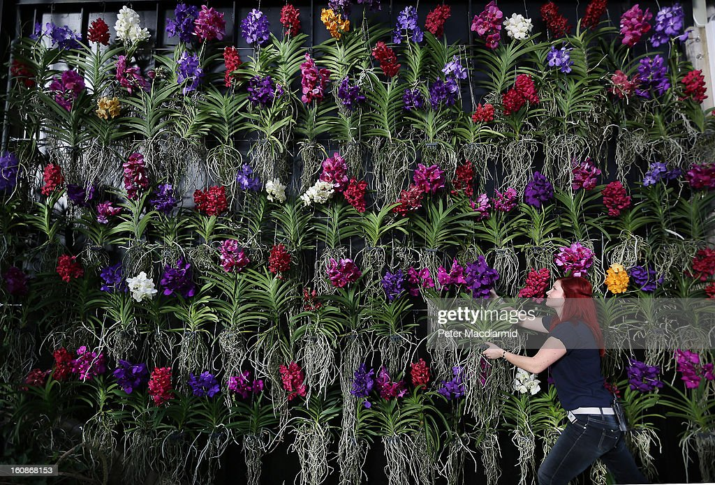 Horticulturist Elisa Biond creates a wall of Vanda orchids for the Orchid Festival in The Princess of Wales Conservatory at the Royal Botanic Gardens, Kew on February 7, 2013 in London, England. 4500 orchids, 550 bromeliads and 350 assorted foliage plants have been installed for the Festival which runs from February, 9 to March 3, 2013.