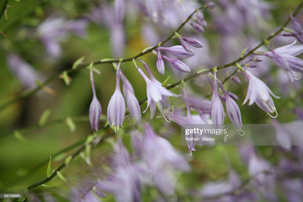 Hosta flowerscape : Stock Photo