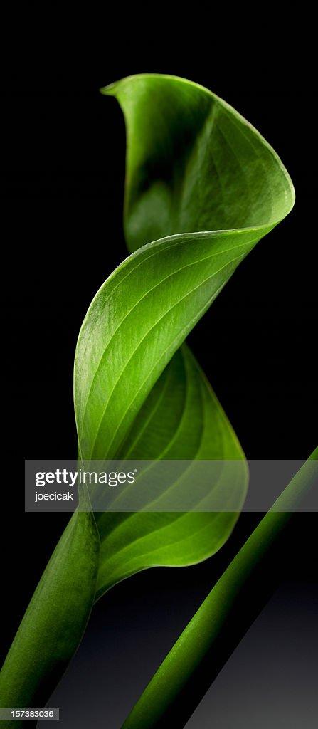 Hosta Leaf Close-up