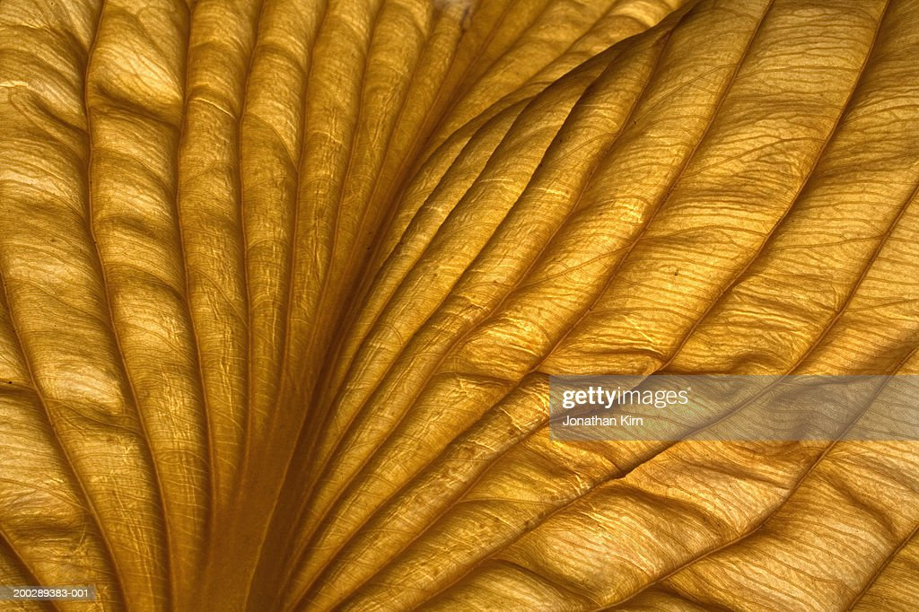 Hosta leaf, close-up : Stock Photo