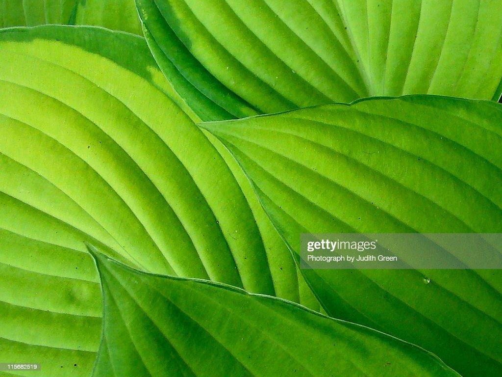 Hosta leaves