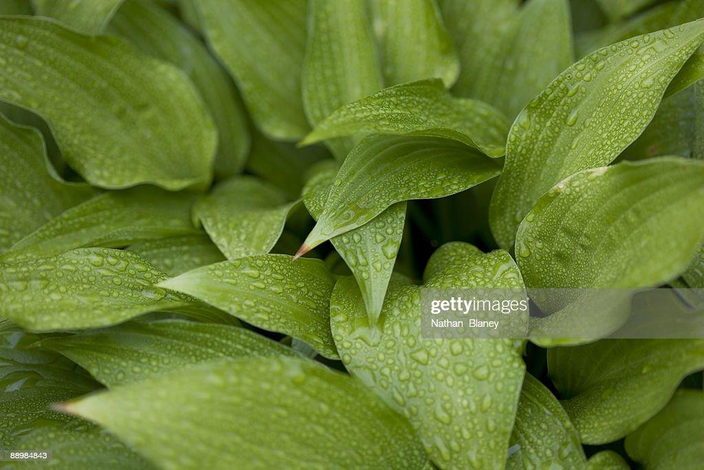 Hosta leaves : Stock Photo