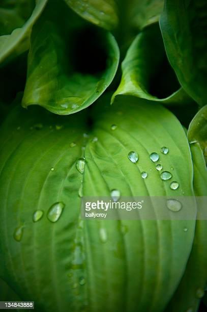 ギボウシリーブズ、Raindrops