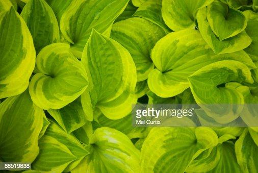 Hosta plant : Stock Photo