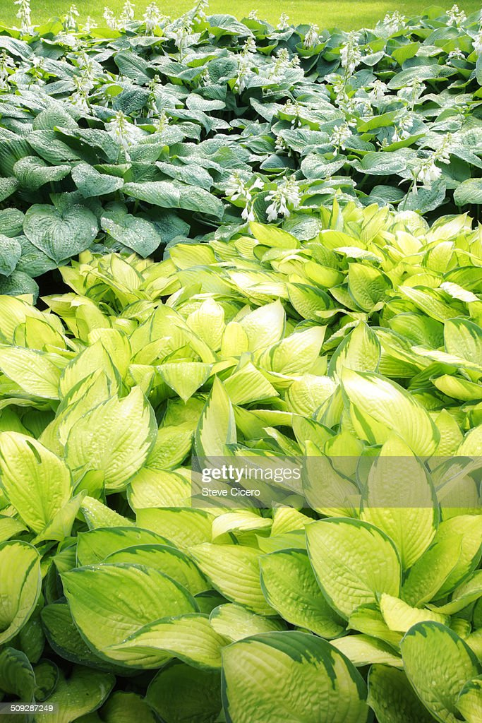 Hosta plants in after rainfall