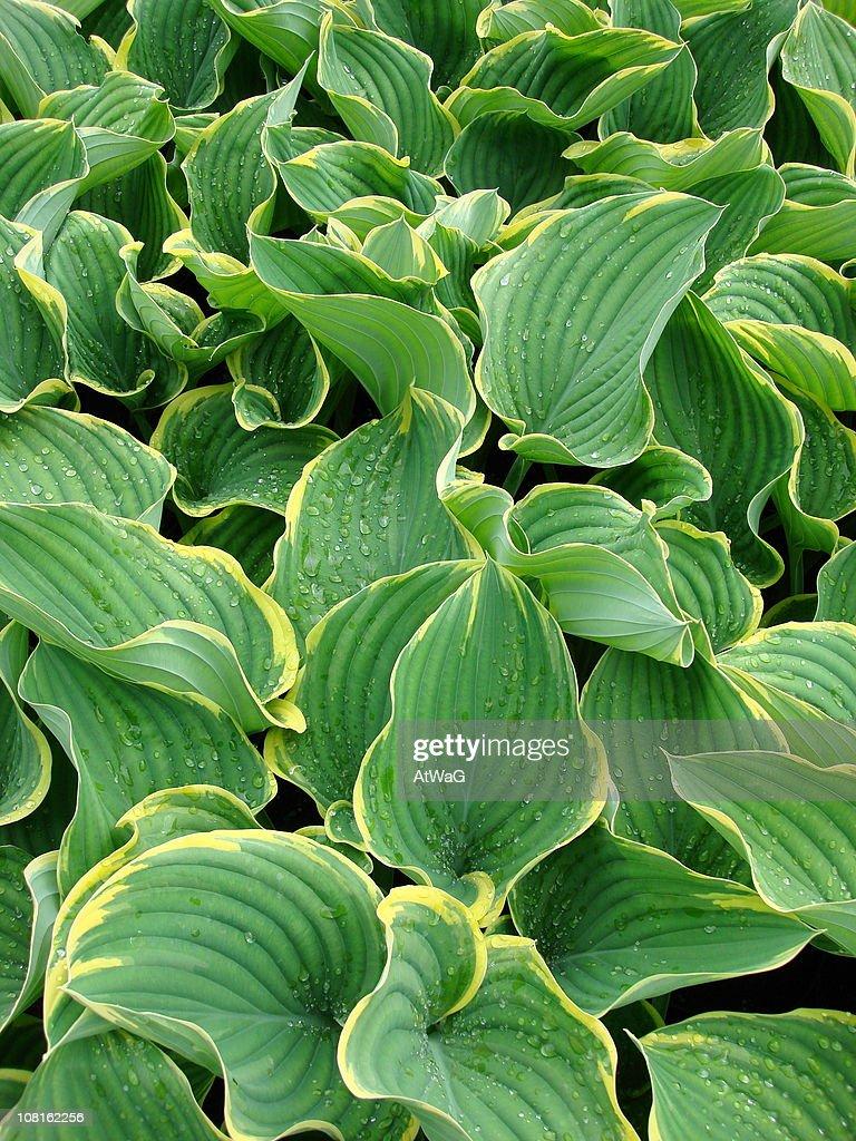 Hosta Sagae Plant Leaves : Stock Photo