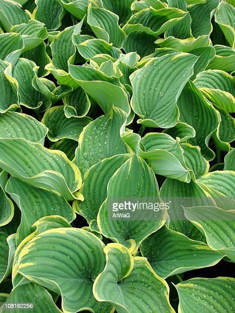 ギボウシ Sagae 植物の葉