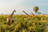 Multiple Giraffes stand infant of a passing by Hot Air Balloon in The Serengeti in Serengeti National Park, Tanzania.