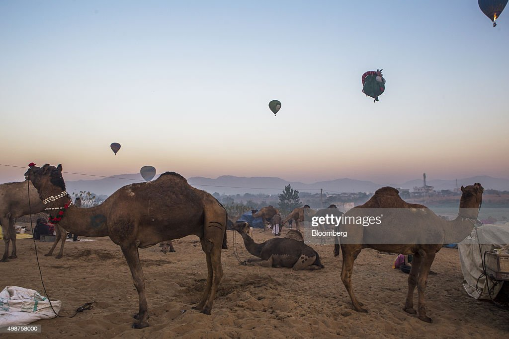 Hot air balloons fly over camels tethered at the fairgrounds of the Pushkar Camel Fair in Pushkar Rajasthan India on Friday Nov 20 2015 Throw...