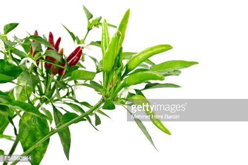 Hot Chili Peppers Growing