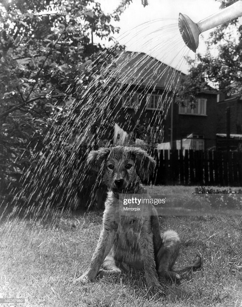 Hot Dog - Cooled Down. 3 months old Peggy, a puppy watched her mistress watering the garden at their Barkingside Esses home today (Thurs) and felt it was hot enough to be cooled down by the water. May 1965 P000360