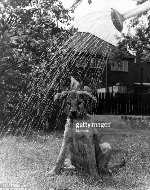 Hot Dog Cooled Down 3 months old Peggy a puppy watched her mistress watering the garden at their Barkingside Esses home today and felt it was hot...
