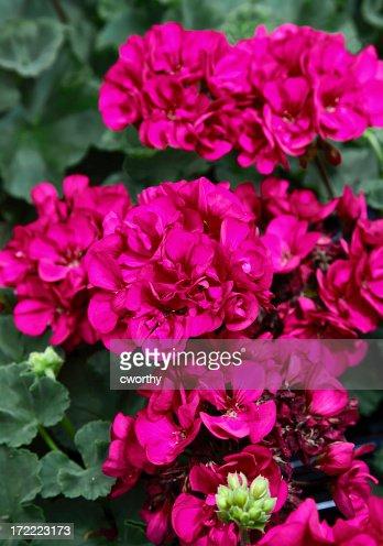 Hot pink geranium flowers on a green bush