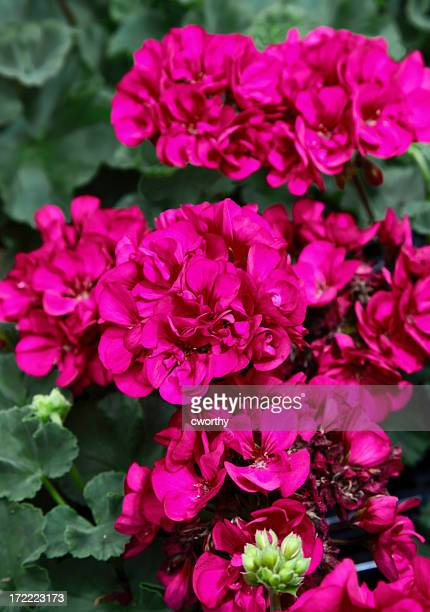 Hot pink geranium flowers on a green bush