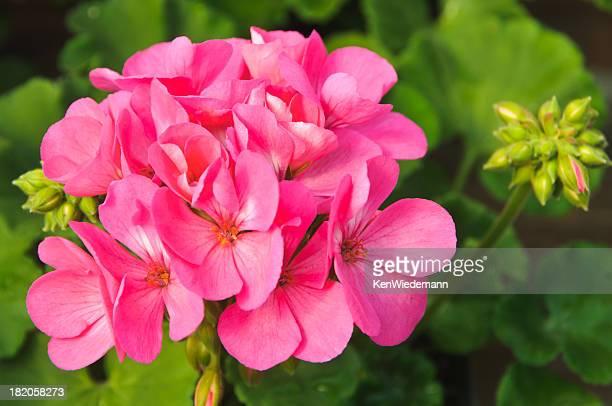Le Rose géranium