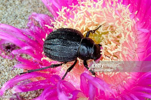 Hottentot Fig Carpobrotus Edulis Beetle