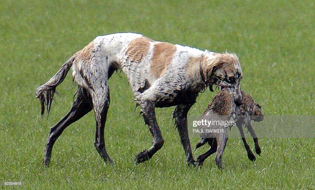 Fox Hunting Dog Breeds Uk