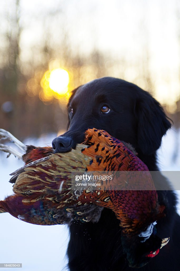 Hound carrying pheasant in mouth