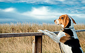 Hound dog  looks to distance