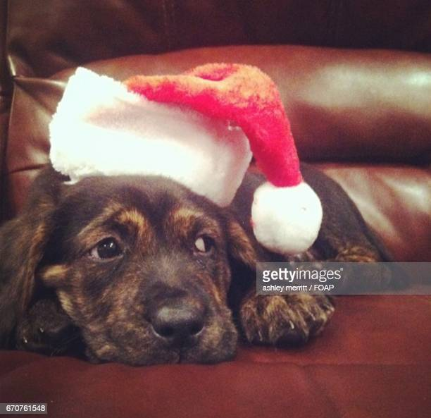 Hound sitting on sofa with christmas hat