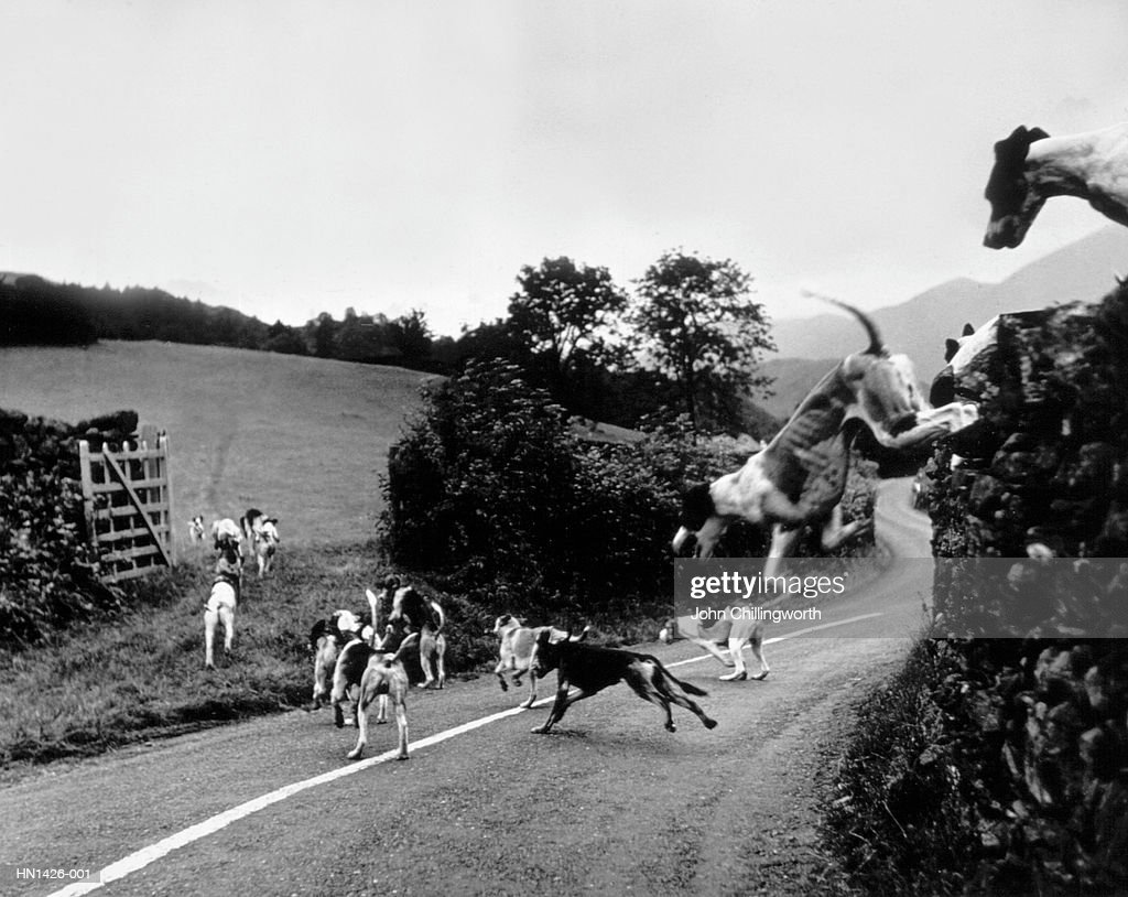 Hound Trailing : Stock Photo