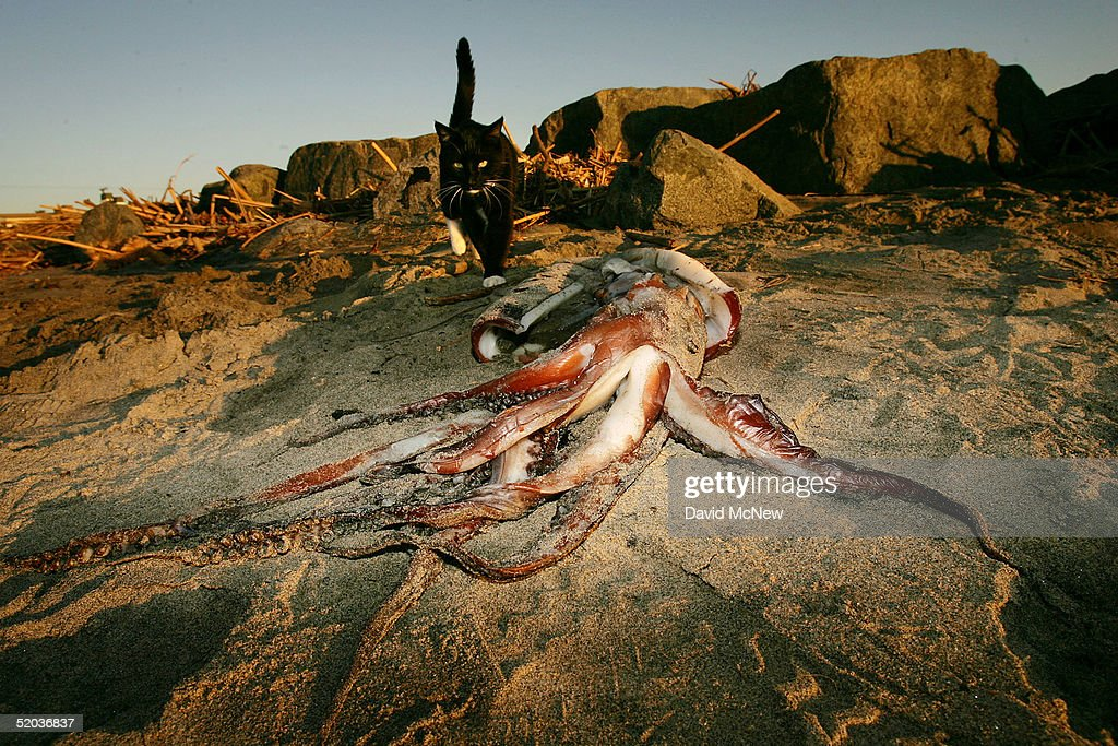 A house cat walks near a giant squid that washed ashore on January 19, 2005 in Newport Beach, California. Scientists are trying to figure out why hundreds of the three- to four-foot-long squids washed up overnight along the southern California coast. One theory suggests that the squid may have run ashore while chasing grunions, small fish that lay their eggs on the land during the high tides of summer, as they passed close to shore. Other factors, such as unseasonably warm ocean temperatures, the recent record rainfalls, and the sudden summer-like weather are also suspected.