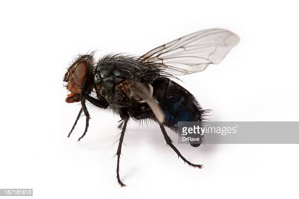 House fly close-up