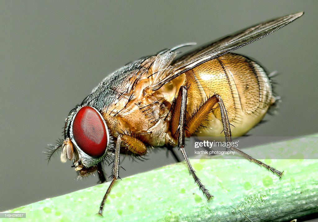 House fly : Stock Photo