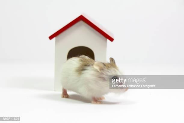 A house full of rats. Hamster roborowski  (Phodopus roborovskii)
