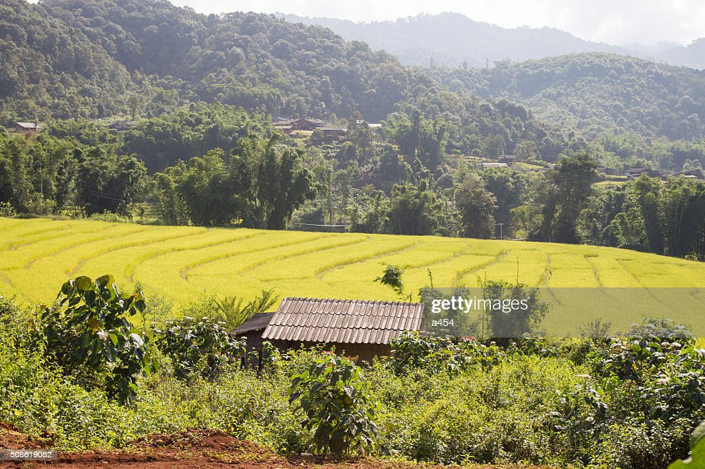 house is in the rice fields : Stock Photo