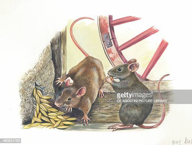 House mice eating corn in a barn illustration