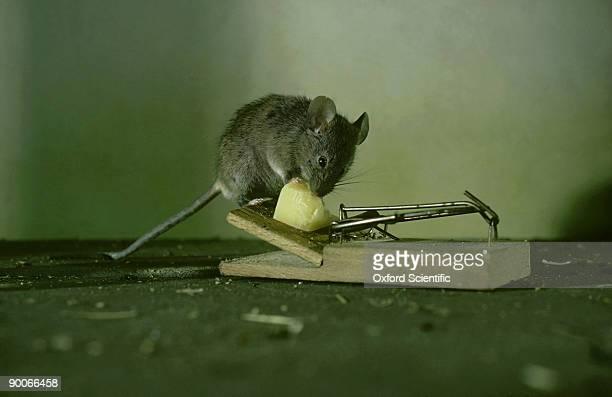 House Mouse, Mus musculus, eating cheese from trap