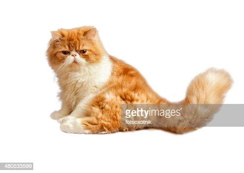 House persiano gattino isolato su sfondo bianco : Foto stock