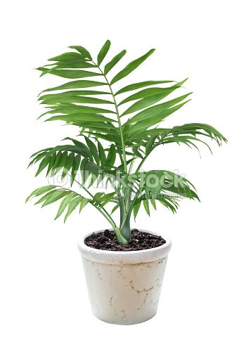 House plant Chamaedorea in a flower pot : Stock Photo
