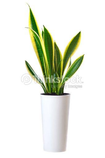 House plant Sansevieria trifasciata (snake tongue) : Stock Photo