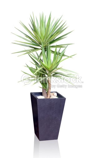 plantes de yucca photo thinkstock. Black Bedroom Furniture Sets. Home Design Ideas