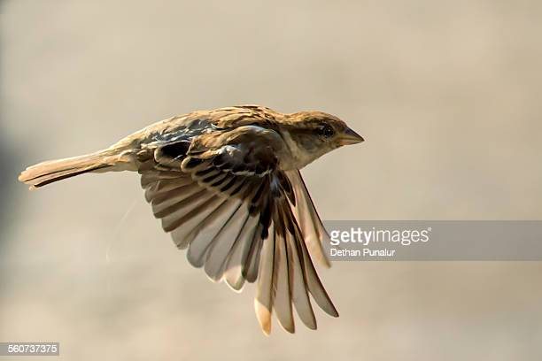 House sparrow flying