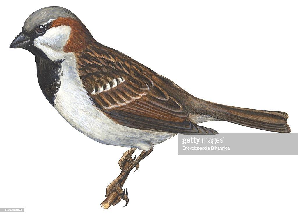House Sparrow House Or English Sparrow