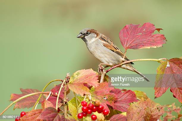 House Sparrow -Passer domesticus-, Limburg an der Lahn, Hesse, Germany, Europe