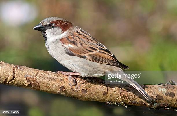 House Sparrow -Passer domesticus-, male, Baden-Wurttemberg, Germany