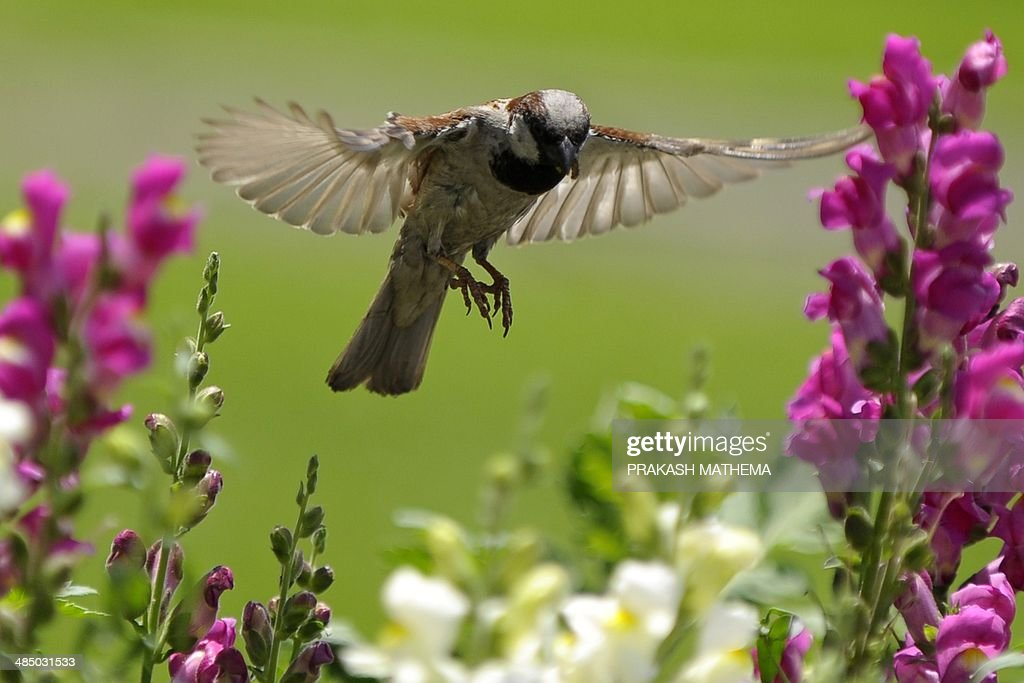 A house sparrow searches for food among flowering plants in Kathmandu on April 16, 2014. Nepal's diverse topography and climate is home to more than ten percent of the world's bird species. AFP PHOTO/Prakash MATHEMA