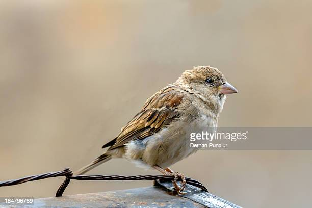 House sparrow sitting